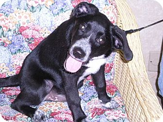 "Labrador Retriever Mix Puppy for adoption in New Castle, Pennsylvania - "" Koda """