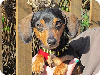 Dachshund Dog for adoption in Portland, Oregon - MILO
