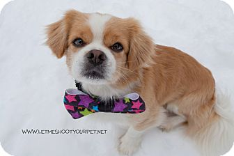 king charles spaniel shih tzu mix louie adopted dog pdr41 drumbo on shih tzu 8804