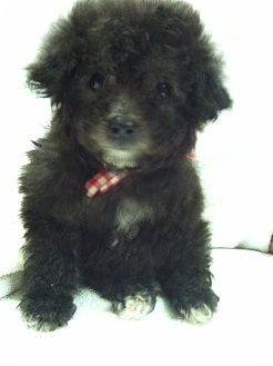 Yorkshire Terrier Nj Toy Poodle Puppies | A...