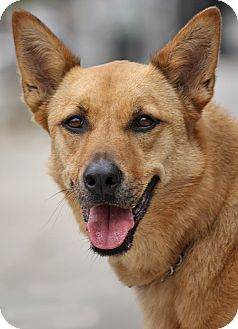 German Shepherd Dog Mix Dog for adoption in Los Angeles, California - Callie von Bucknam
