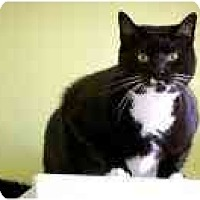 Domestic Shorthair Cat for adoption in Marietta, Georgia - Bud
