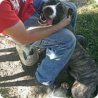 Adopt A Pet :: Louie - Lima, OH