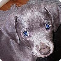 Adopt A Pet :: Virginia - Toms River, NJ