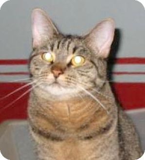 American Shorthair Cat for adoption in Brooklyn, New York - Crisco