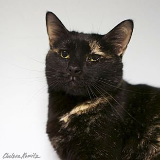Domestic Shorthair Cat for adoption in Los Angeles, California - Leslie Winkle