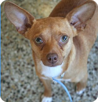 Chihuahua Mix Dog for adoption in Cranston, Rhode Island - Paco