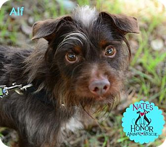 Chihuahua/Chinese Crested Mix Dog for adoption in Bradenton, Florida - Alf
