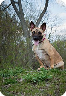 Shepherd (Unknown Type)/Terrier (Unknown Type, Small) Mix Dog for adoption in Aurora, Ohio - Kricket