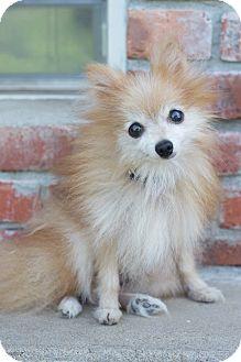Pomeranian Dog for adoption in Cleveland, Oklahoma - Winston