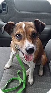 Jack Russell Terrier Mix Dog for adoption in Snyder, Texas - Skipper