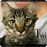 Domestic Shorthair Kitten for adoption in Wichita Falls, Texas - Twig