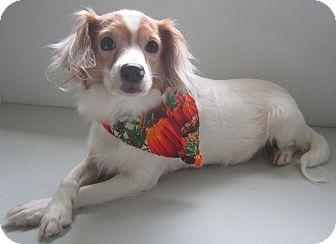 Sheltie, Shetland Sheepdog Mix Dog for adoption in Holton, Kansas - Tinkerbell