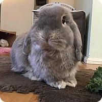Adopt A Pet :: Hsiáo-Too - Los Angeles, CA