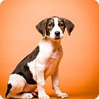 Labrador Retriever/Australian Shepherd Mix Dog for adoption in Bedminster, New Jersey - Lancaster