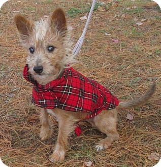Cairn Terrier/Terrier (Unknown Type, Small) Mix Dog for adoption in Port Jervis, New York - Hughie