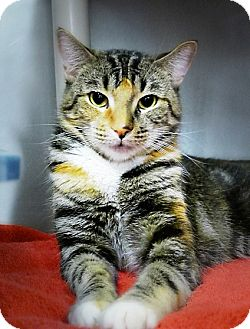 Domestic Shorthair Cat for adoption in Casa Grande, Arizona - Anna