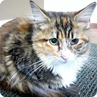 Calico Kitten for adoption in Columbus, Ohio - Fern