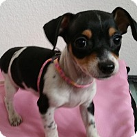 Rat Terrier/Dachshund Mix Puppy for adoption in Stockton, California - Candy