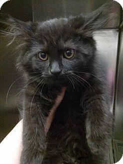 Maine Coon Kitten for adoption in Northfield, Ohio - Beth
