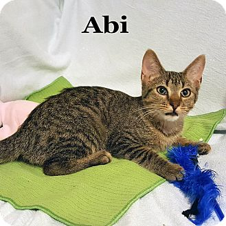 Domestic Shorthair Cat for adoption in Bentonville, Arkansas - Abi