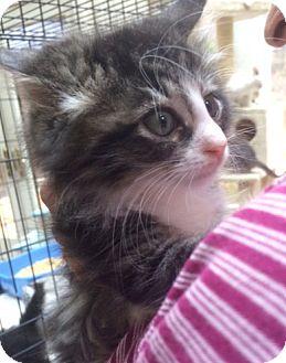 Domestic Longhair Kitten for adoption in Devon, Pennsylvania - Merry