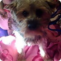 Adopt A Pet :: Scotty - Kansas city, MO
