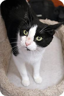 Domestic Shorthair Cat for adoption in Dallas, Texas - Oreo