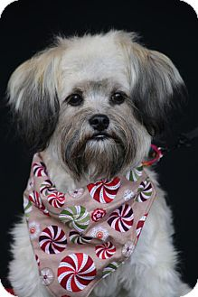 Yorkie, Yorkshire Terrier/Poodle (Miniature) Mix Puppy for adoption in SAN PEDRO, California - Shaggy