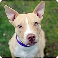 Adopt A Pet :: Tanner - Reisterstown, MD