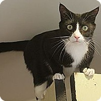 Adopt A Pet :: Sheldon - Columbia, MD