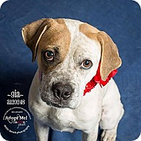 Adopt A Pet :: Gia - Dallas, TX