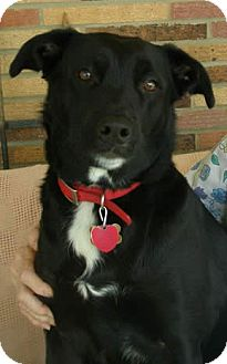 Labrador Retriever Mix Dog for adoption in Independence, Missouri - Joy - Courtesy Listing