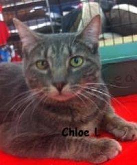 Domestic Shorthair Cat for adoption in Sacramento, California - Chloe L
