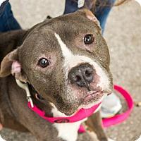 Adopt A Pet :: Holyfield - Villa Park, IL
