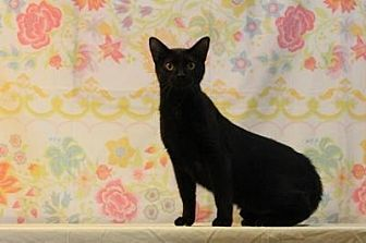 Domestic Shorthair Cat for adoption in Sebastian, Florida - Ninja
