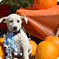 Adopt A Pet :: Hadley - Charlemont, MA