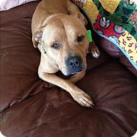 Adopt A Pet :: Marley - Schaumburg, IL