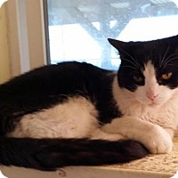 Domestic Mediumhair Cat for adoption in Lemoore, California - Yoko