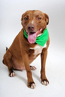 Labrador Retriever Mix Dog for adoption in Thibodaux, Louisiana - Duke K92-8265