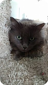 Domestic Longhair Cat for adoption in Hanna City, Illinois - Kiera