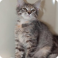 Domestic Mediumhair Kitten for adoption in New Martinsville, West Virginia - Leah