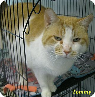 Domestic Shorthair Cat for adoption in Chisholm, Minnesota - Tommy