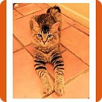 Adopt A Pet :: Kitten - Porthos - Euless, TX