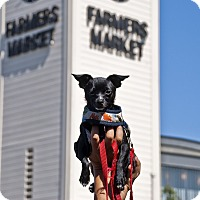 Adopt A Pet :: Traveler (Shadow MK) - Santa Ana, CA