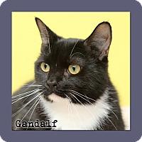 Domestic Shorthair Cat for adoption in Aiken, South Carolina - Gandalf