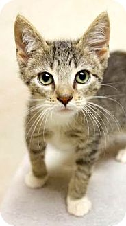 Domestic Shorthair Kitten for adoption in Montclair, New Jersey - Finn and BB
