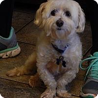 Maltese Dog for adoption in Niagara Falls, New York - Oscar(10 lb) Sweetest Ever!