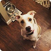 Adopt A Pet :: Kiba - Enfield, CT