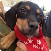 Labrador Retriever/Border Collie Mix Puppy for adoption in BONITA, California - Calvin